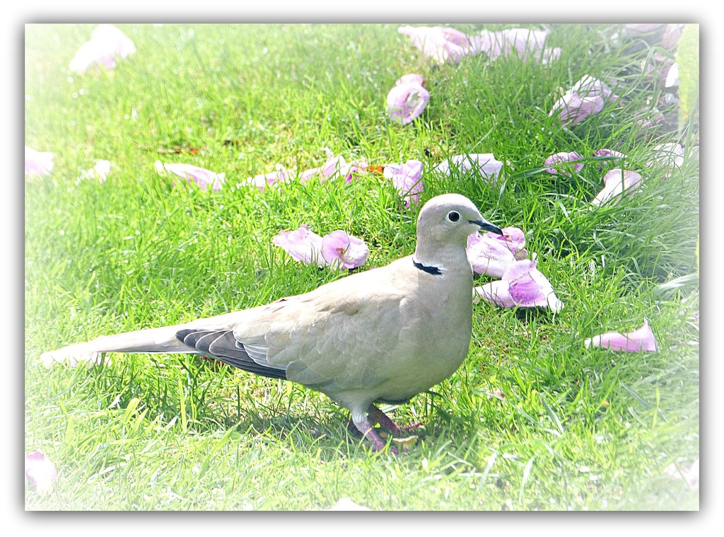 Collared dove  by beryl