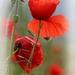 Pretty Poppy by shepherdmanswife