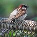 So many sparrow varieties... by seattlite