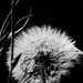 Not a Dandelion by tosee