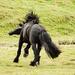 Dole stallion Ullins Stjerneblesen by elisasaeter