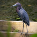 Little Blue Heron Walking the Tightrope! by rickster549