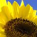 Sunny Sunflower by loweygrace