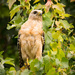 Red-Shouldered Hawk! by rickster549