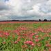 Poppies field by pyrrhula