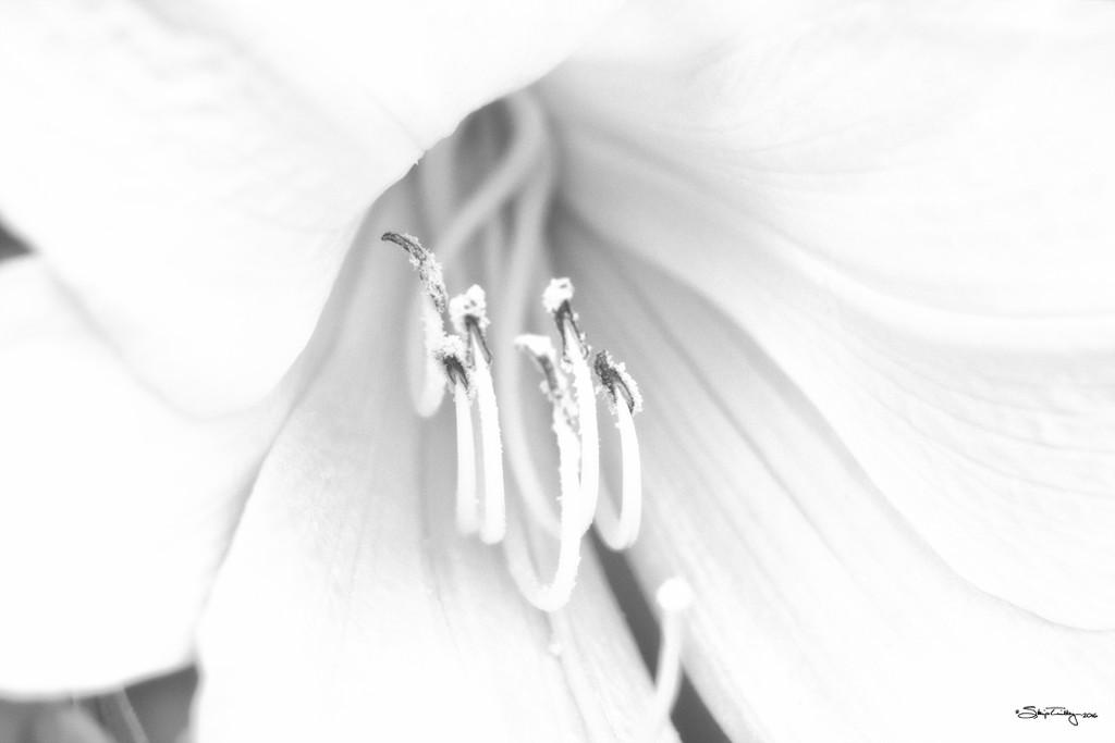 High Key Lily by skipt07
