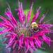 Fuzzy Bee by marylandgirl58