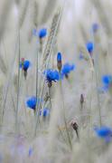 30th Jun 2016 - sky-blue droplets
