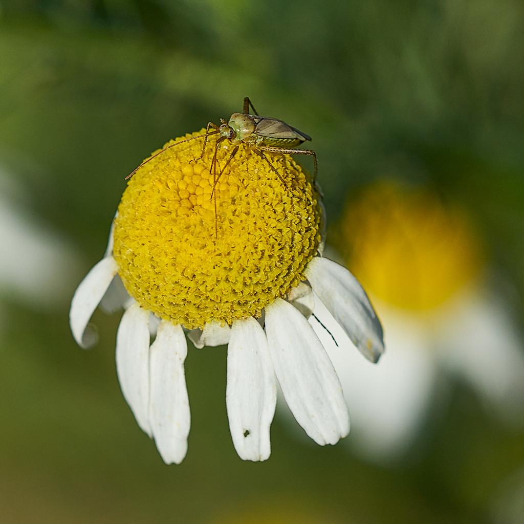 Tiny Daisy, Tinier Insect by gardencat