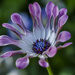 Osteospermum Flower by tonygig