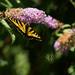 Butterfly Bush by nanderson