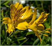 2nd Jul 2016 - Alstroemeria