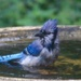 Young Blue Jay by mzzhope