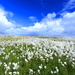 Bog Cotton by lifeat60degrees