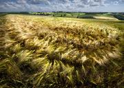 23rd Jun 2016 - Fields of Barley
