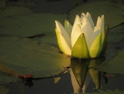 3rd Jul 2016 - Water Lily