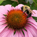 Coneflower and Bee by loweygrace