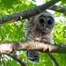Barred Owl by dianen