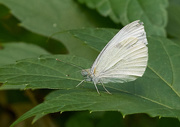 4th Jul 2016 - Cabbage Butterfly