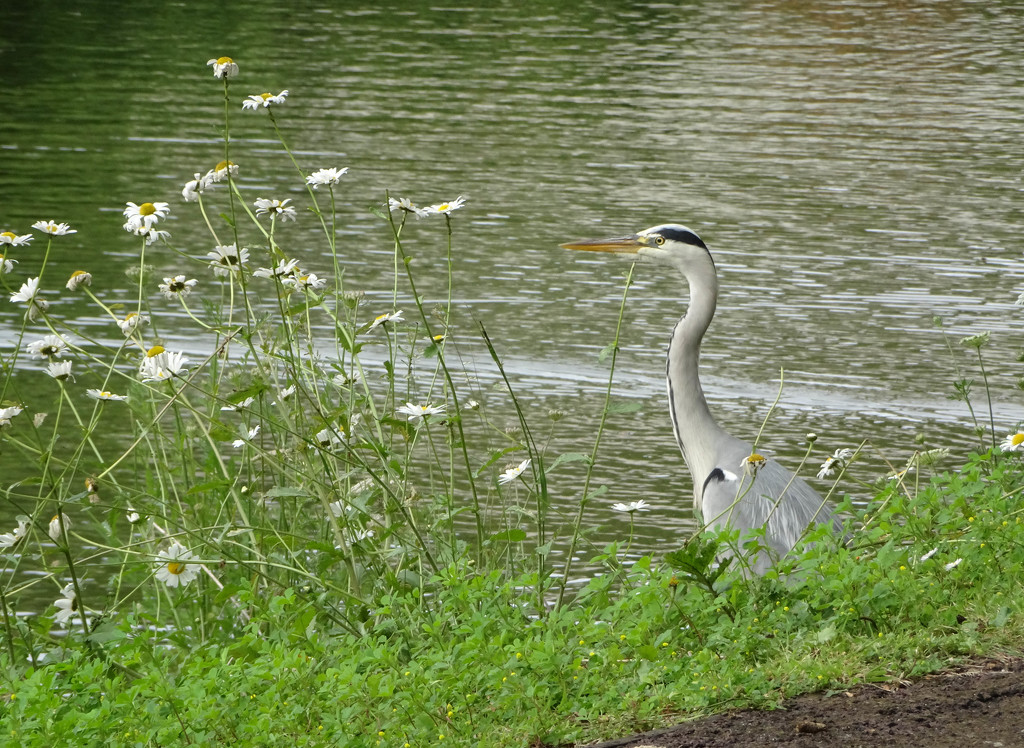 Daisy Heron by bizziebeeme