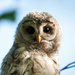 Barred owl 2 by dianen