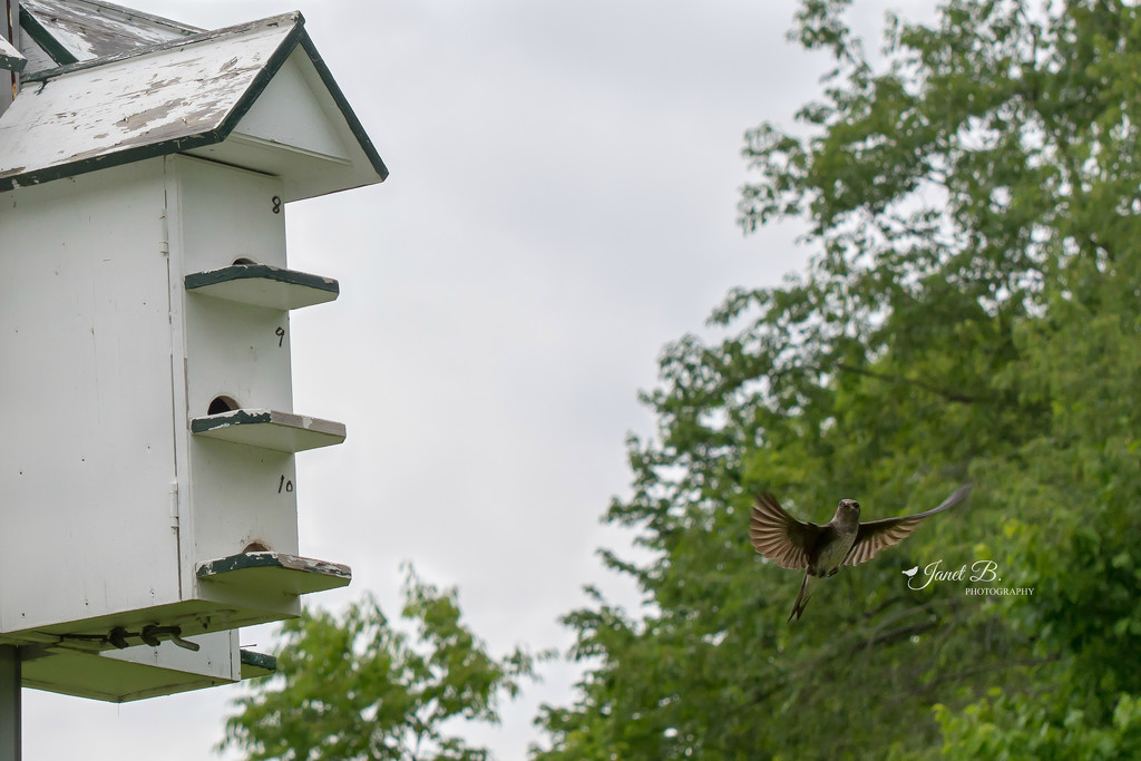 Purple Martins And A Wasp by janetb
