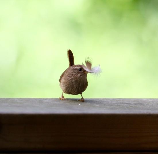 Little wren! by chris17