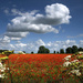 Field of Poppies by lupus