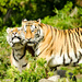Tiger cuddles by elisasaeter