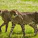 Cheetah by elisasaeter