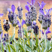 2016 07 05 Butterfly Lavender and Bumble Bee by pamknowler