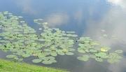6th Jul 2016 - water lilies