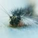 Fuzzy catapillar by dianen