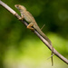 Lizard Hanging Out! by rickster549