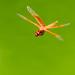 Dragonfly in Flight by stefneyhart