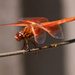 Dragonfly in Orange by stefneyhart