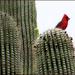 cactus cardinal by aikimomm