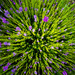 Lavender envy by inthecloud5