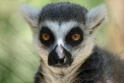 6th Jul 2015 - Lemur