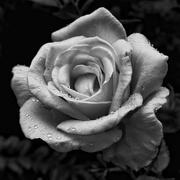 7th Jul 2016 - Wet Rose
