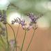 Lavender by loweygrace