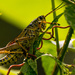 Southern Lubber Grasshopper, again! by rickster549