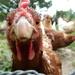 Peckin' chicken by amfrumbiddivurd