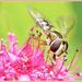 Hoverfly On Spirea by carolmw