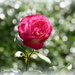 Rose and bokeh by rosiekind