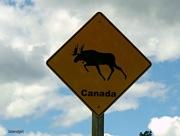 9th Jul 2016 - Danger Moose crossing!