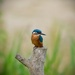 Kingfisher by padlock
