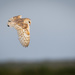 2016 07 06 - Barn Owl by pixiemac
