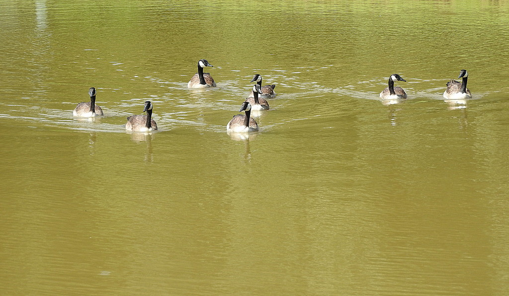 A gaggle of geese by homeschoolmom