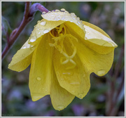 9th Jul 2016 - Yellow Poppy